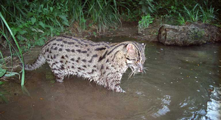 Like other small cat species, the Fishing cat is often forgotten by conservation funders, with the majority of money finding its way to big cat conservation. Photo by Neville Buck