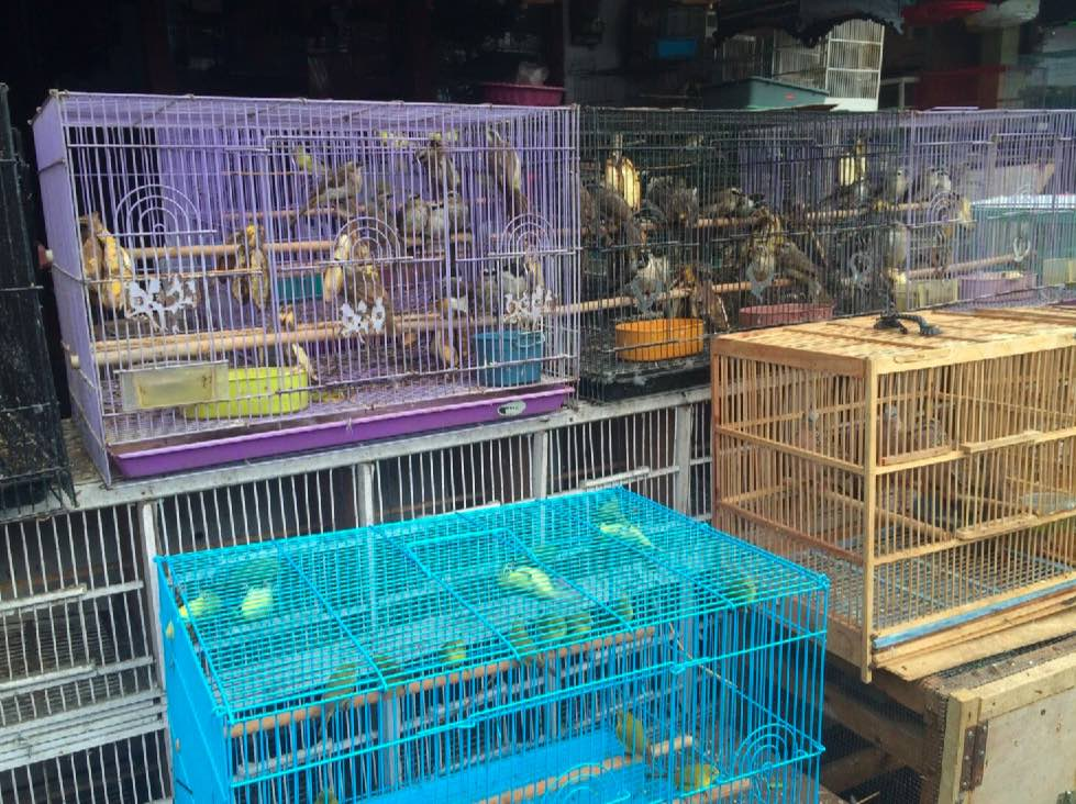Some of the native birds for sale, including Yellow-vented Bulbul, Oriental White-eye and Spotted Dove. Photo credit: Heru Cahyono/TRAFFIC.