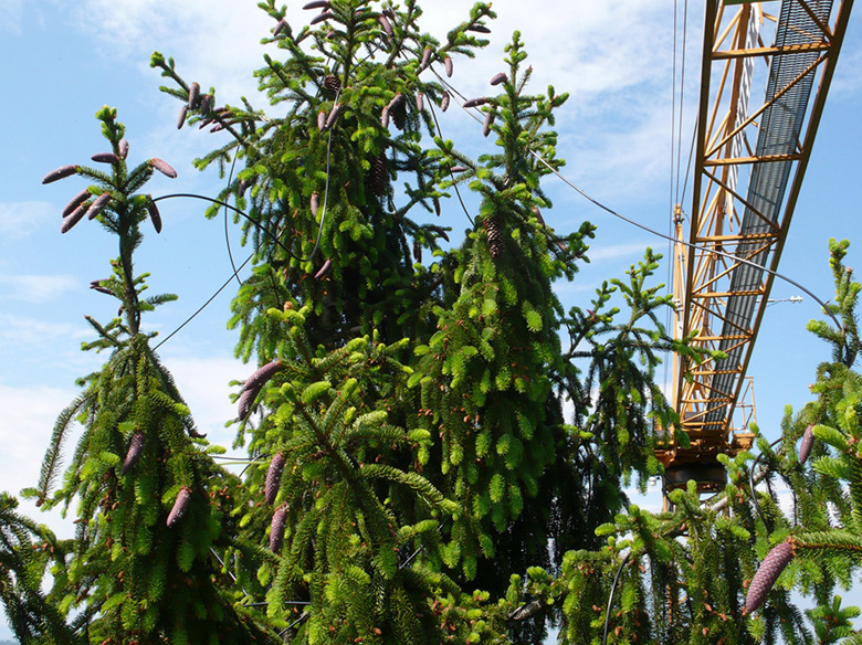 Researchers used a construction crane to distribute 13C to the tops of spruce trees via tubes. Photo courtesy of University of Basel, research group C. Körner.