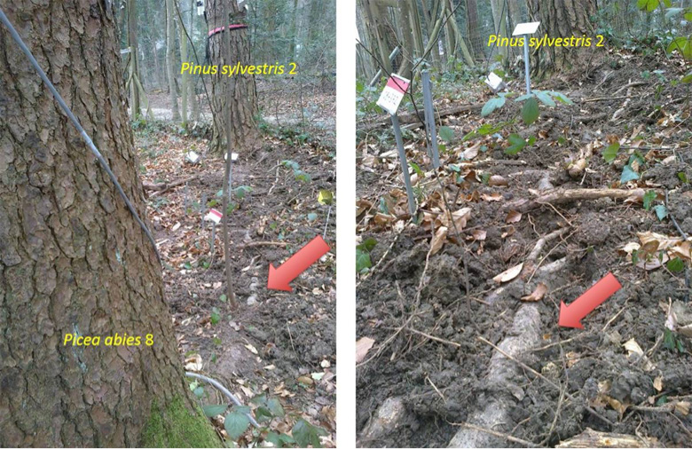 Sampling of verified fine roots from overlapping root spheres. Roots were excavated down to 5 cm depth and traced to the trunk of origin. The red arrow denotes the sampling point of fine roots belonging to labelled Picea abies (front) and belonging to neighbouring, unlabelled Pinus sylvestris (rear). Photo courtesy of Christian Körner and Tamir Klein.