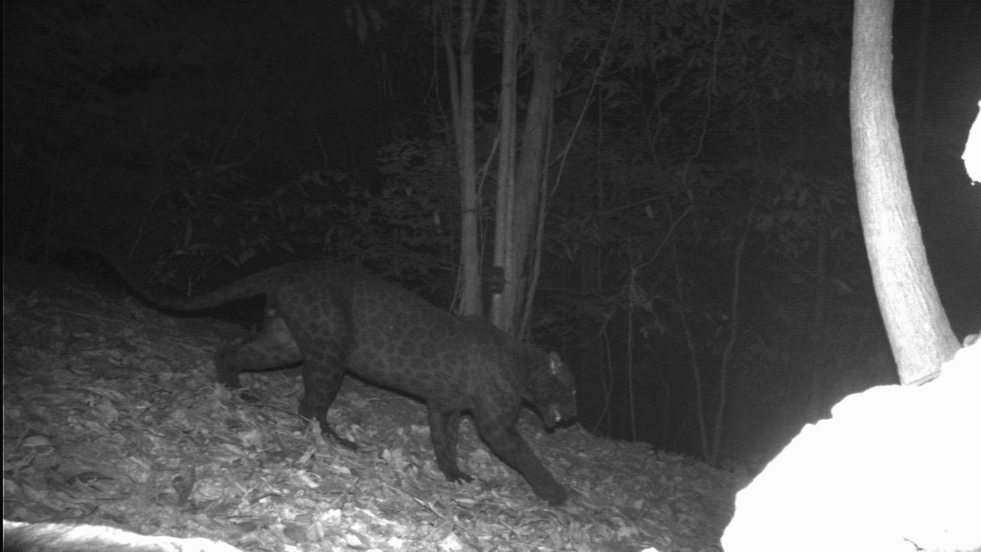 Leopard 3: Melanistic male Indochinese leopard from Malaysia, with spots illuminated using infrared light. Photo courtesy of DWNP, Panthera, and Rimba.
