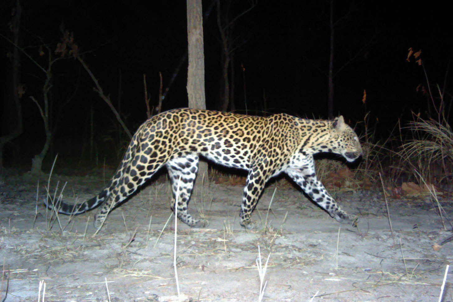 Leopard 1: Male Indochinese leopard from eastern Cambodia. Photo courtesy of Panthera, WWF Cambodia, and Forestry Administration.