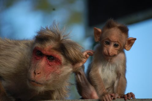 Bonnet macaques. Photo by Shreejata Gupta.