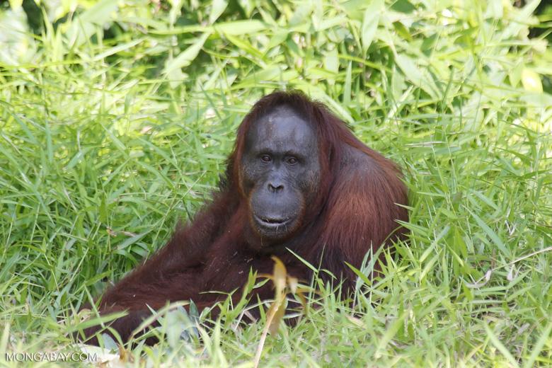 A Bornean orangutan (Pongo pygmaeus). Photo by Rhett A. Butler