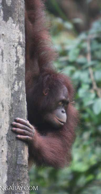 Bornean orangutans decreased by more than 60 percent between 1950 and 2010, with further sharp declines expected unless strong conservation action is taken. Photo by Rhett A. Butler