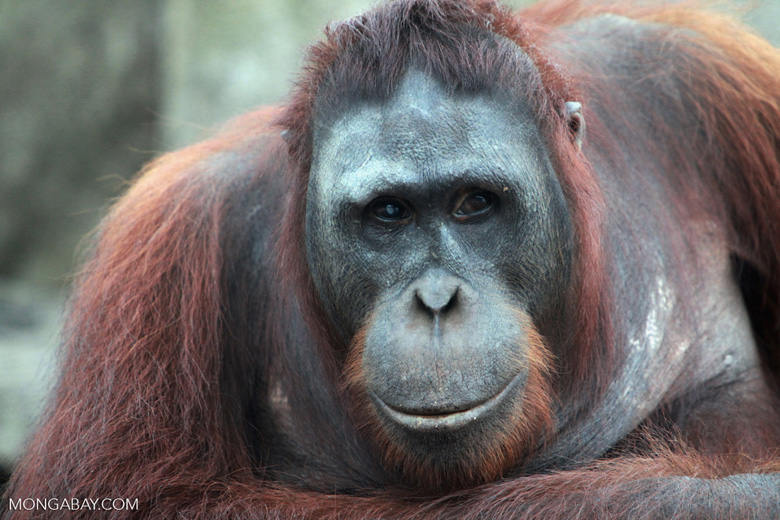 Orangutans in Borneo have been seriously threatened by the oil palm industry. Photo by Rhett A. Butler