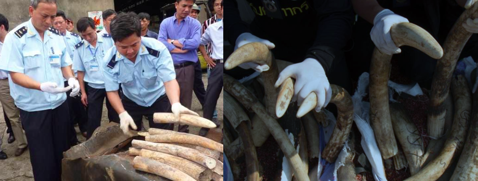 "Vietnam Customs seized 1.5 tons of elephant tusks concealed in boxes labeled ""charcoal"" in 2014 (left). Thai Customs seized this four-ton haul of ivory (right) disguised in a shipment of beans in 2015. Both of these ivory seizures coming into Asia were trafficked from Congo-based companies. Photos courtesy of Freeland Foundation."