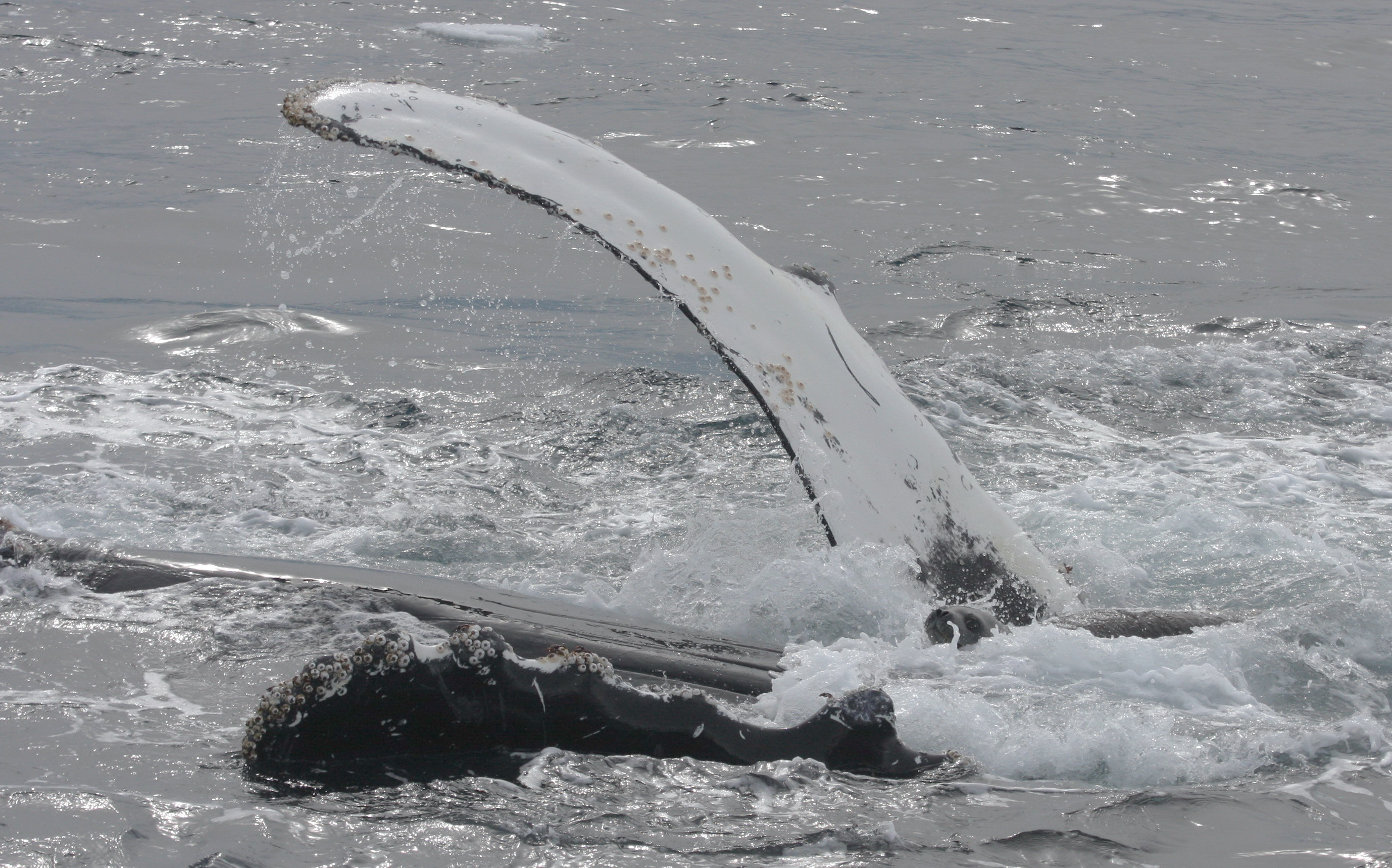A humpback whale protects a Weddell seal from attacking killer whales. Photo by Robert L. Pitman.
