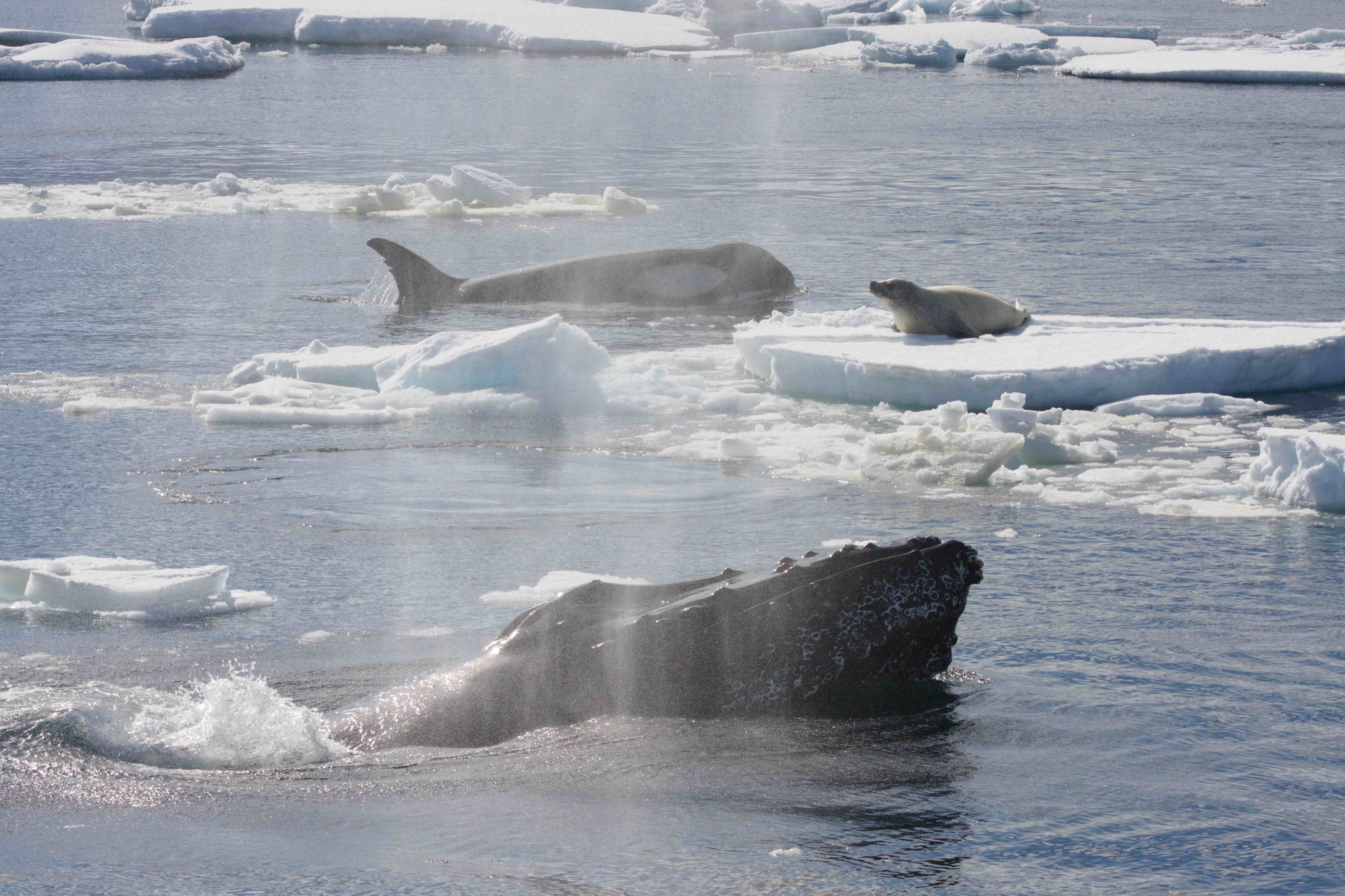 A crabeater seal on an ice floe in Antarctica being attacked by a group of killer whales. A pair of humpback whales have charged in (one individual shown) and they are attempting to drive off the killer whales. Photo by Robert L. Pitman.