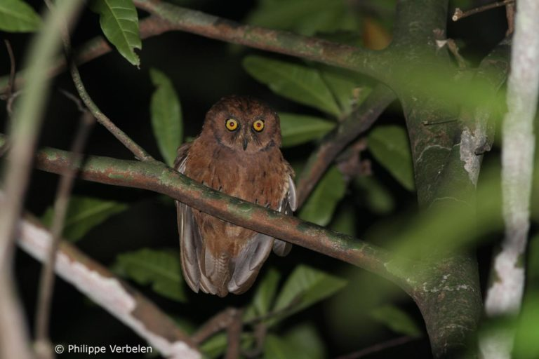 A photo of the previously undiscovered Scops owl (Otus) discovered in the forests of Príncipe Island (Gulf of Guinea). Photo by Philippe Verbelen.