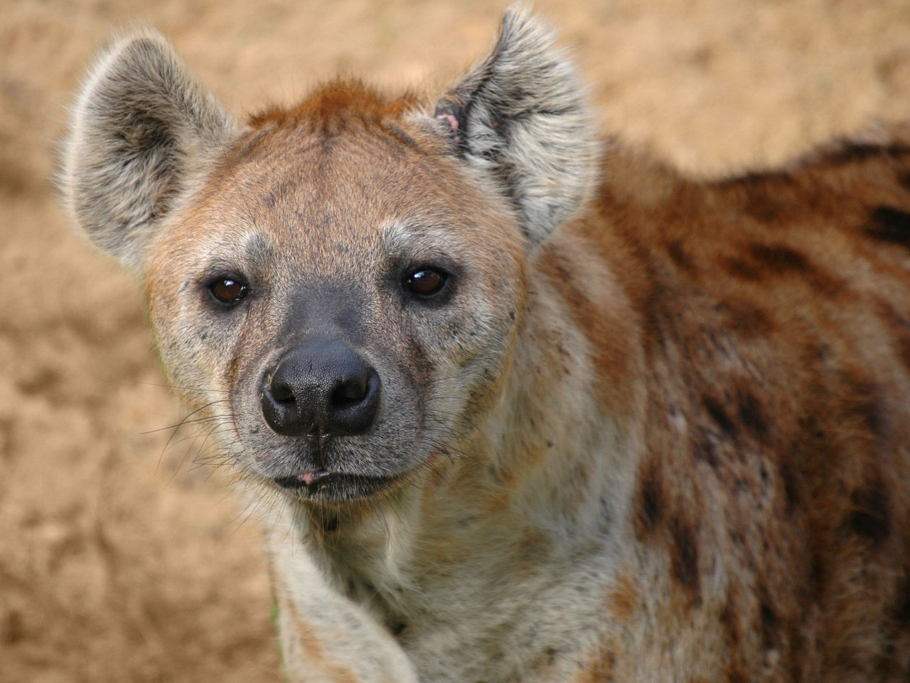 1280px-Hyena FEATURED Photo by Marieke Kuijpers posted on flickr