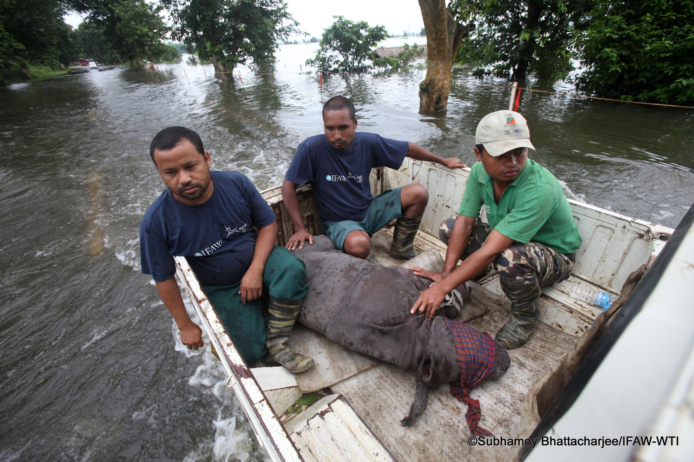 IFAW-WTI MVS team rescuing a rhino calf from flood affected Sildubi village under Bagori forest range of Kaziranga with the help of Kaziranga forest staff, local villagers on Wednesday,27th July 2016. Photo: Subhamoy Bhattacharjee/IFAW-WTI
