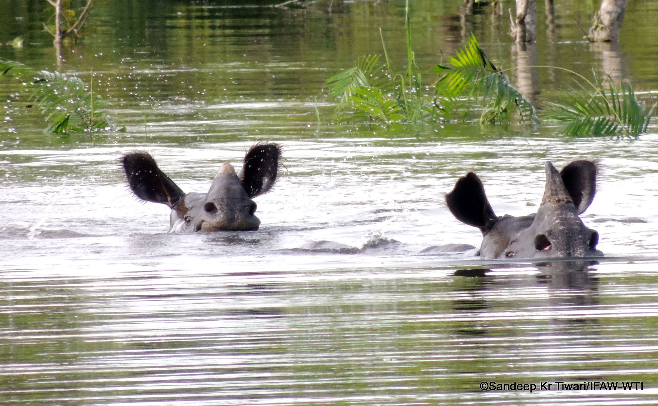 Around 20 Rhinos Have D In The Ongoing Flood Am India Photo Credit