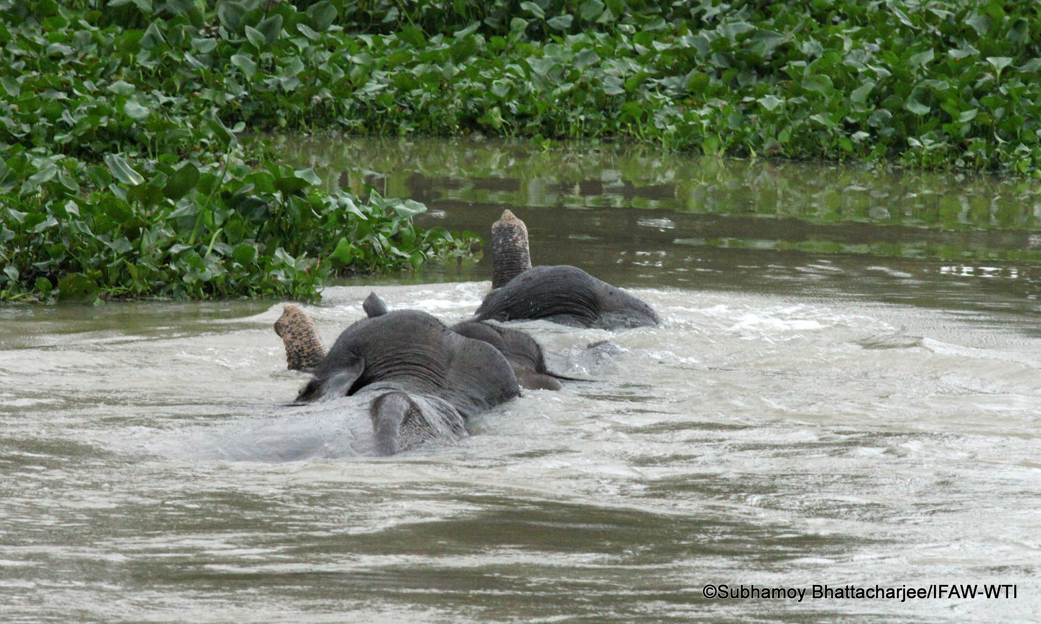 Elephants in flood water in Burhapahar Forest Beat area in on going flood phase in Kaziranga National Park. Photo credit: Subhamoy Bhattacharjee/IFAW-WTI.