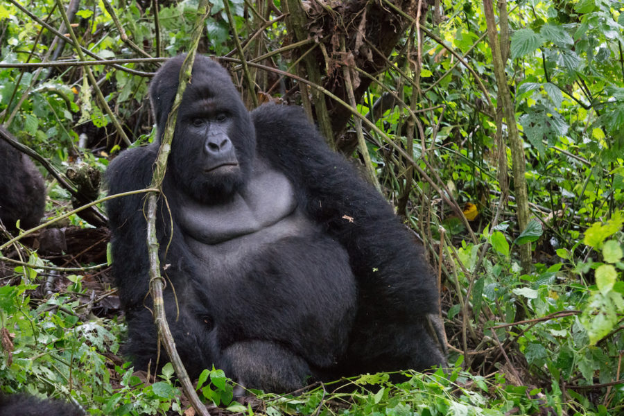 The mountain gorilla is a subspecies of the eastern gorilla (Gorilla beringei). There are currently two populations of mountain gorillas: one in Virunga National Park and the surrounding area, the other in Uganda's Bwindi Impenetrable National Park. Photo by Fanny Schertzer via Wikimedia Commons (CC 3.0)