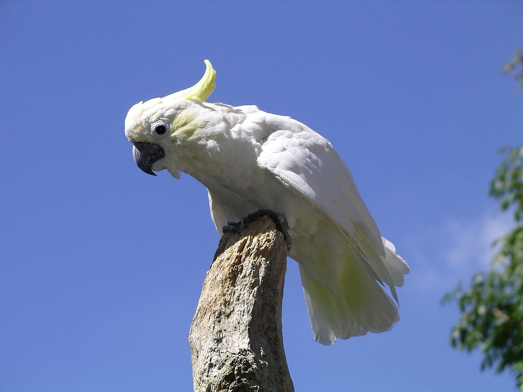 The TRAFFIC team found four individuals of the Critically Endangered species, the Yellow-crested Cockatoo (Cacatua sulphurea) on sale at the market. Photo by Snowmanradio, with permission from Tropical Birdland, Leicestershire, England, Licensed under CC BY-SA 3.0.