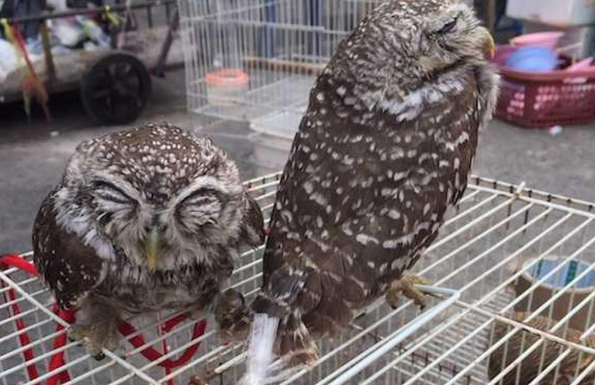 Spotted Owlet, one of the many protected native species for sale in Chatuchak Market. Photo by M.Phassaraudomsak / TRAFFIC