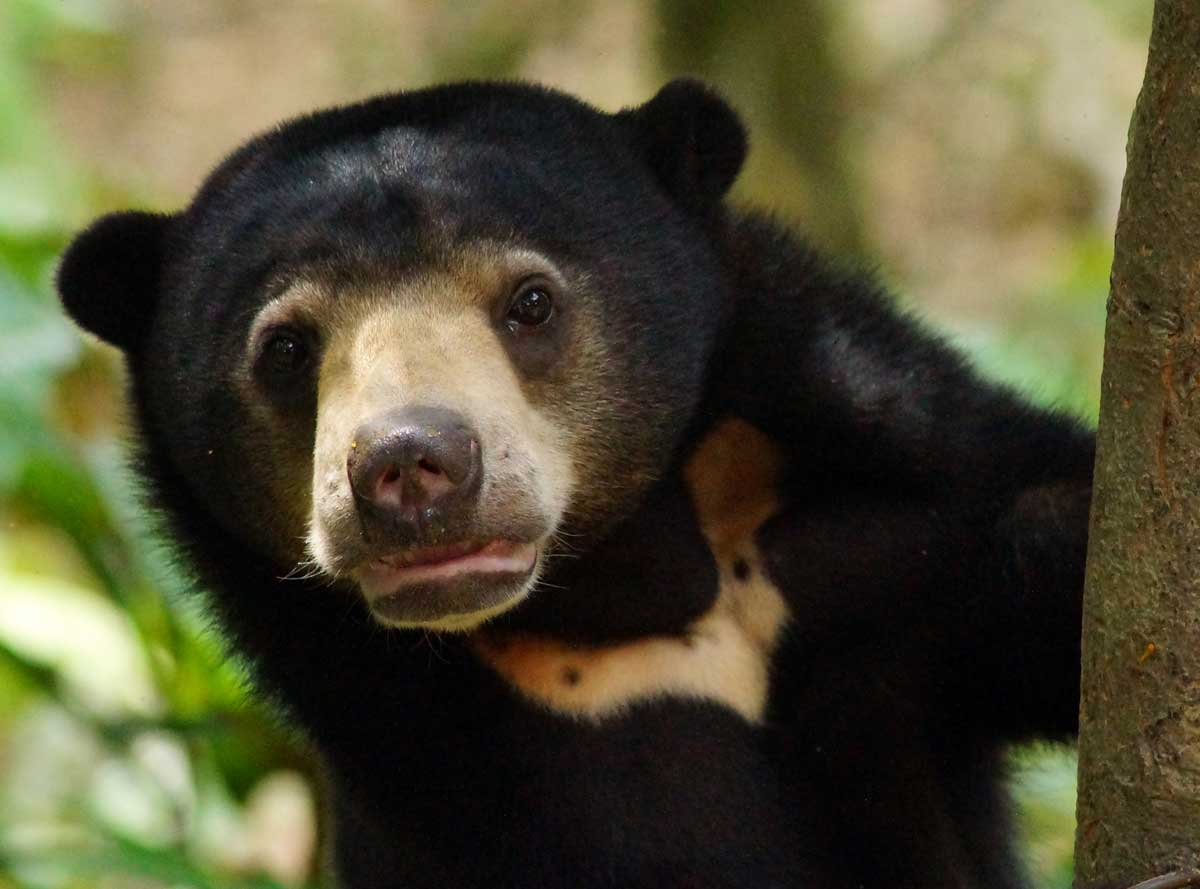 Malayan Sun Bear: Bile Trade Threatens The World's