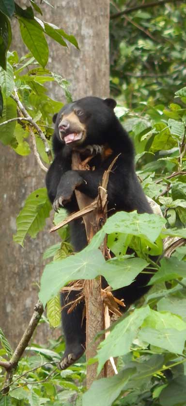 Sun bears are a keystone species. They eat fruit and are very good forest seed dispersers. Photo by Siew Te Wong / BSBCC