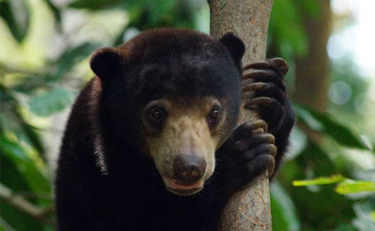 Sun bears are teddy bear cute, an endearing look that hasn't helped much in protecting them so far. Photo by Claire Asher