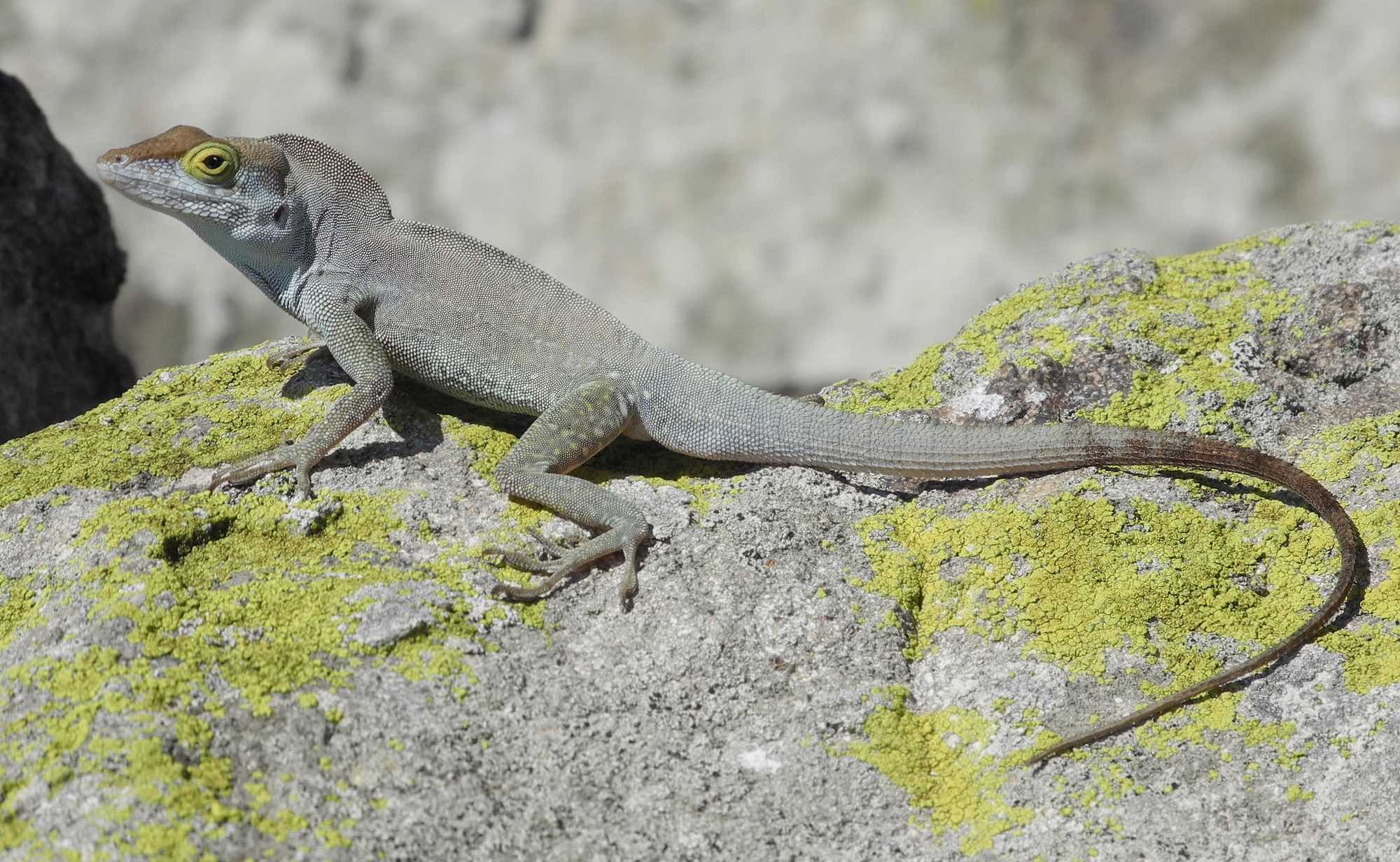 Redonda tree lizard (Anolis nubilus), also found on Redonda Island only. Photo by Jenny Daltry/Fauna & Flora International.