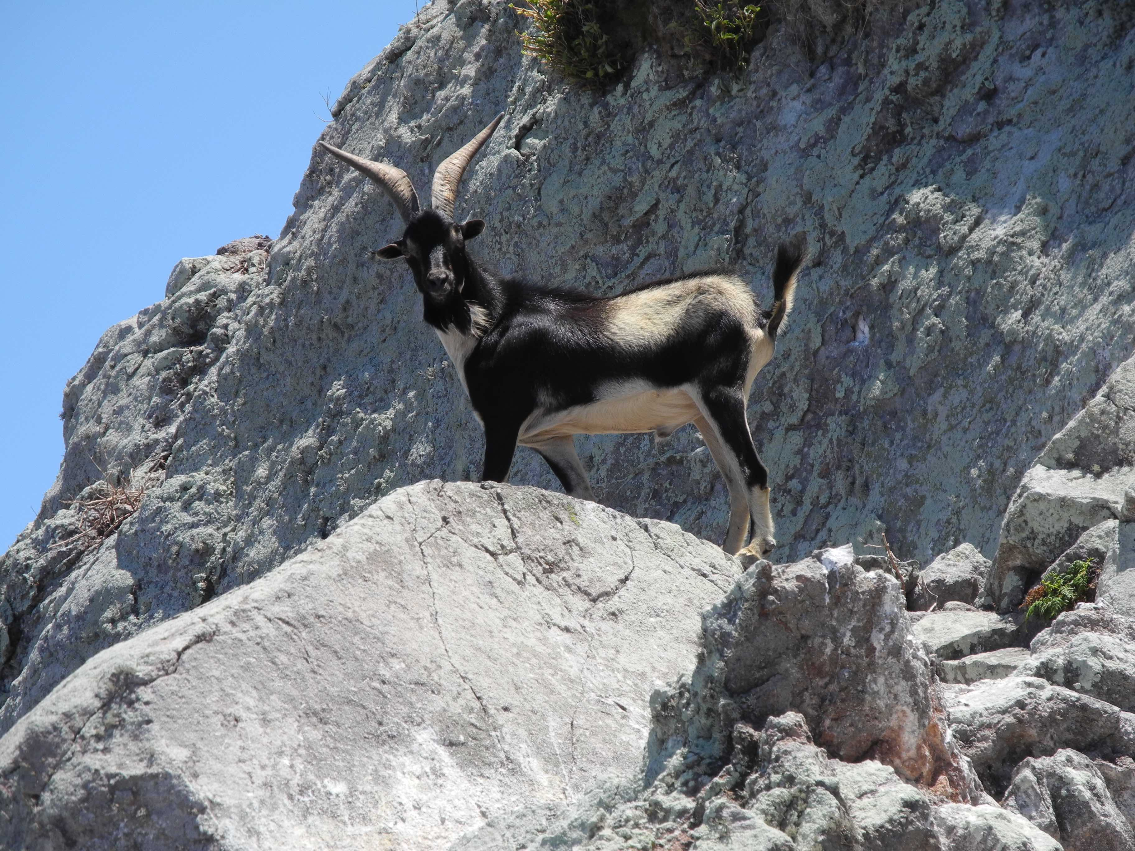 The island is also home to around 60 goats that have transformed the island's landscape together with the rats. Photo by Jenny Daltry/Fauna & Flora International.
