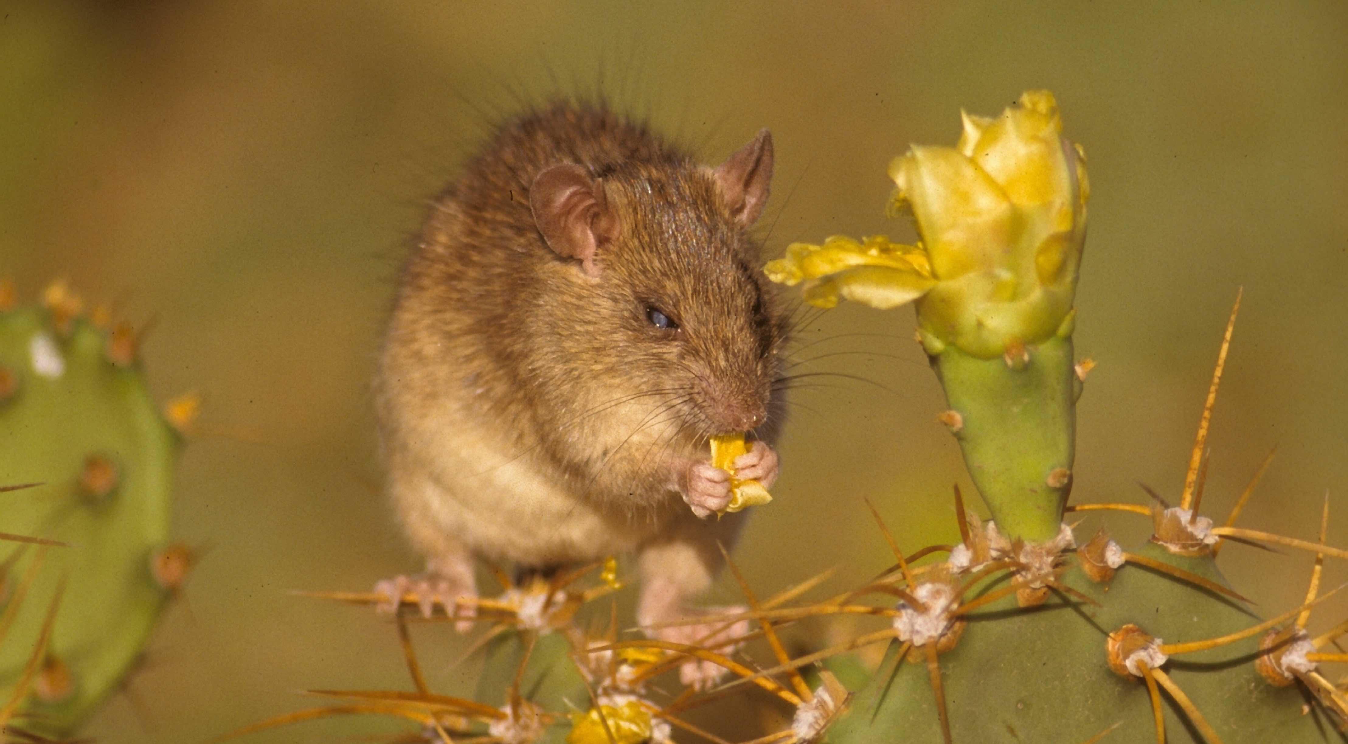 Redonda is home to around 5,000 invasive black rats. Photo by John Cancalosi/Fauna & Flora International.