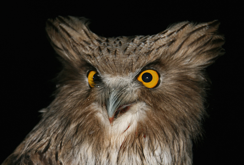 Blakiston's fish owl, a salmon-eating owl, and the world's biggest. Photo by Jonathan Slaght