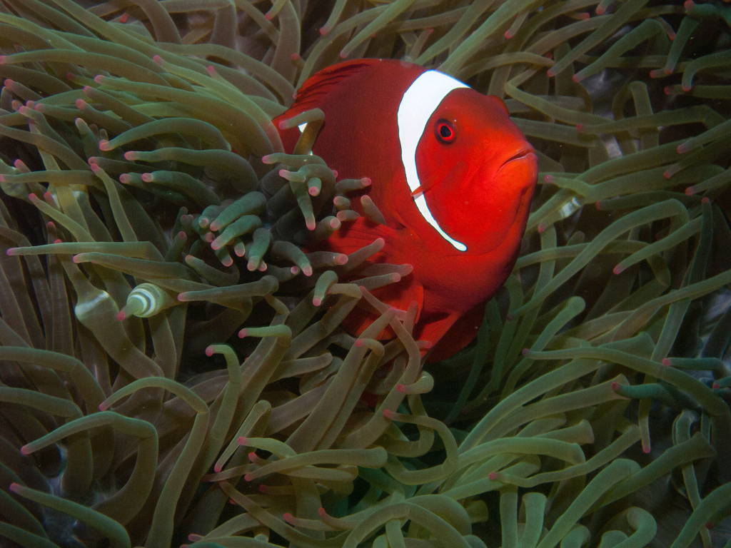 A clownfish in Indonesia's Raja Ampat district, home to several marine protected areas. Photo by Neil Stead/Flickr