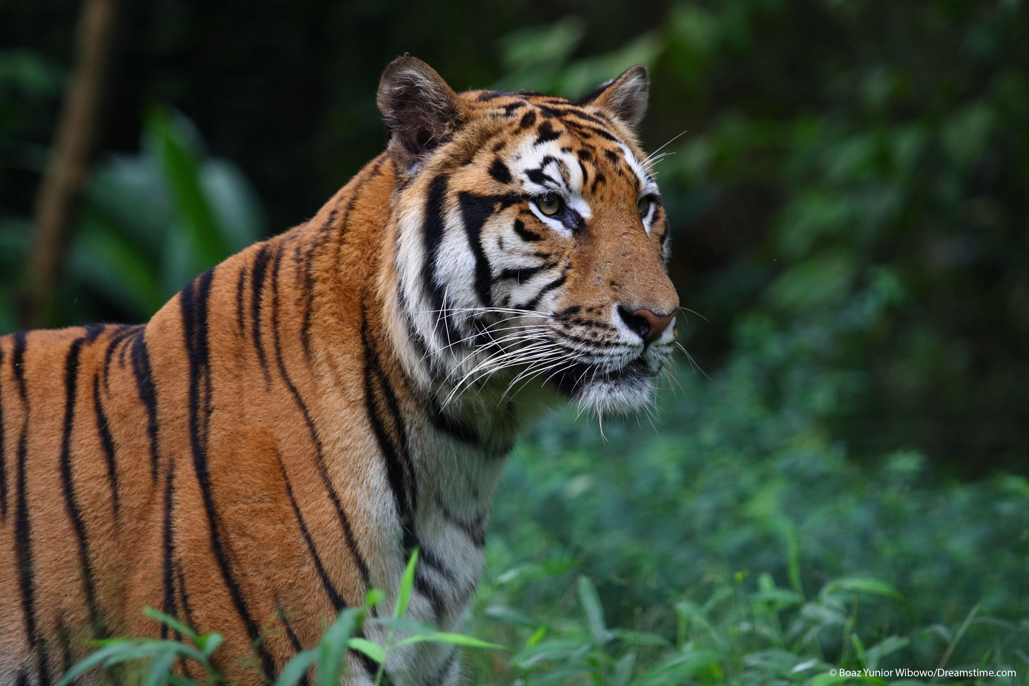 Only about 3,000-4,000 tigers remain in the wild. Photo by Boaz Yunior Wibowo/Dreamstime.