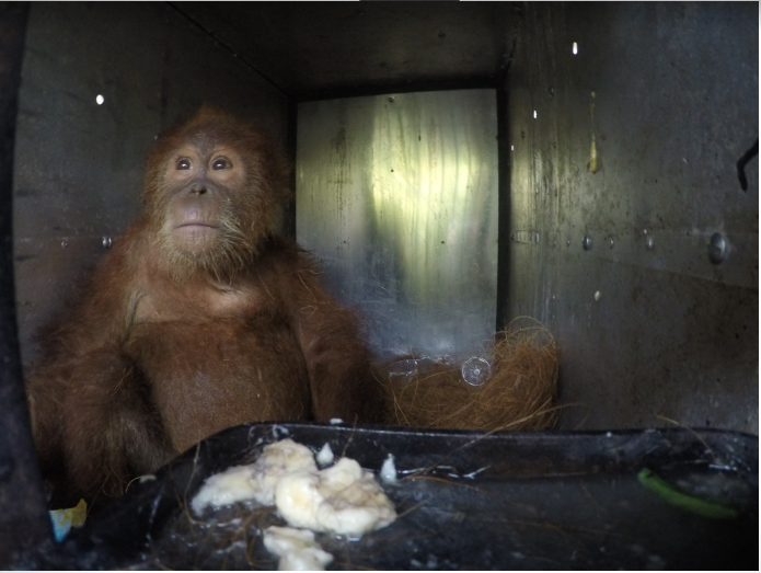This critically endangered Sumatran orangutan was rescued by forest rangers after being kept as an illegal pet in the town of Kutacane, in Indonesia's Aceh province. Photo courtesy of HAkA
