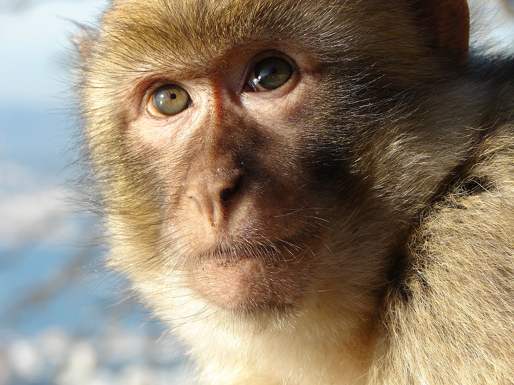 Barbary macaques are popular in Europe's exotic pet trade. Photo by Red Coat, Wikimedia COmmons, licensed under CC BY-SA 2.5.