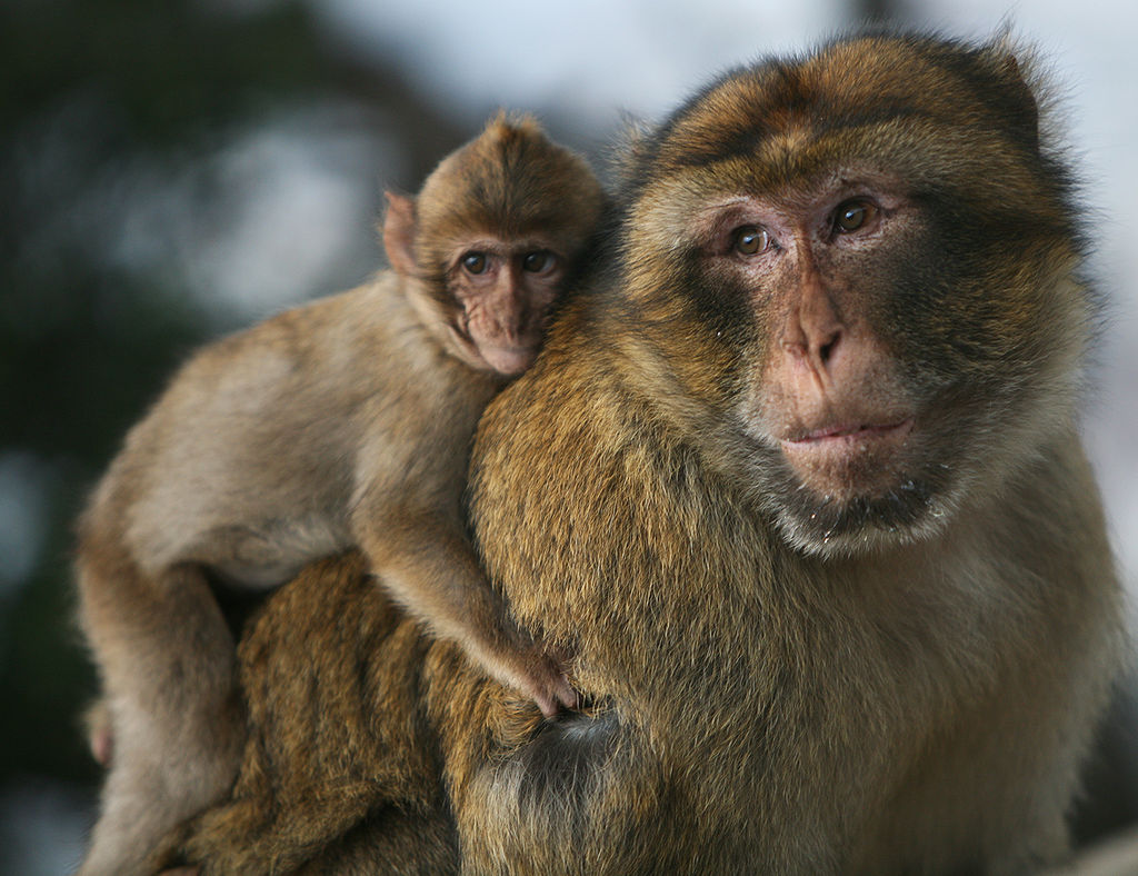 Barbary macaque. Photo by Karyn Sig, Wikimedia Commons, licensed under CC BY-SA 2.0.
