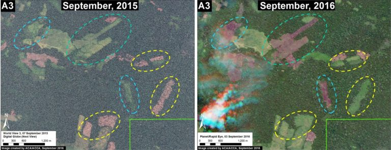 Conversion for cattle pasture is one of the biggest deforestation drivers in the reserve; the researchers found several areas of expansion over the past year. Image courtesy of MAAP