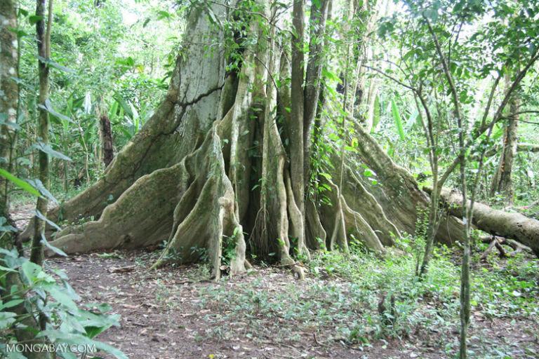 Buttress roots of an Amazon rainforest tree. Photo by Rhett A. Butler