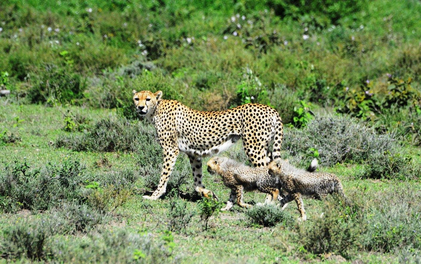 Cheetahs were among the live animals seized by authorities between 2010 and 2014. Photo by Udayan Dasgupta.
