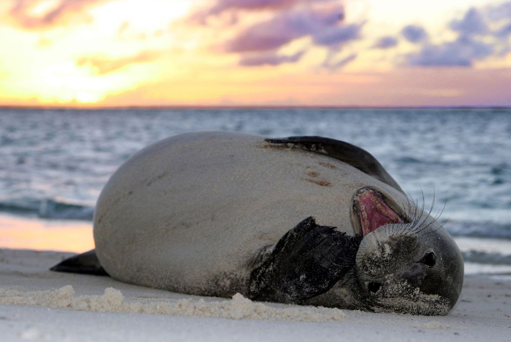 The Hawaiian monk seal is one of the species living inside the newly enlarged Papahānaumokuākea Marine National Monument. Photo by Mark Sullivan (Permit 10137-07 NMFS / NOAA)
