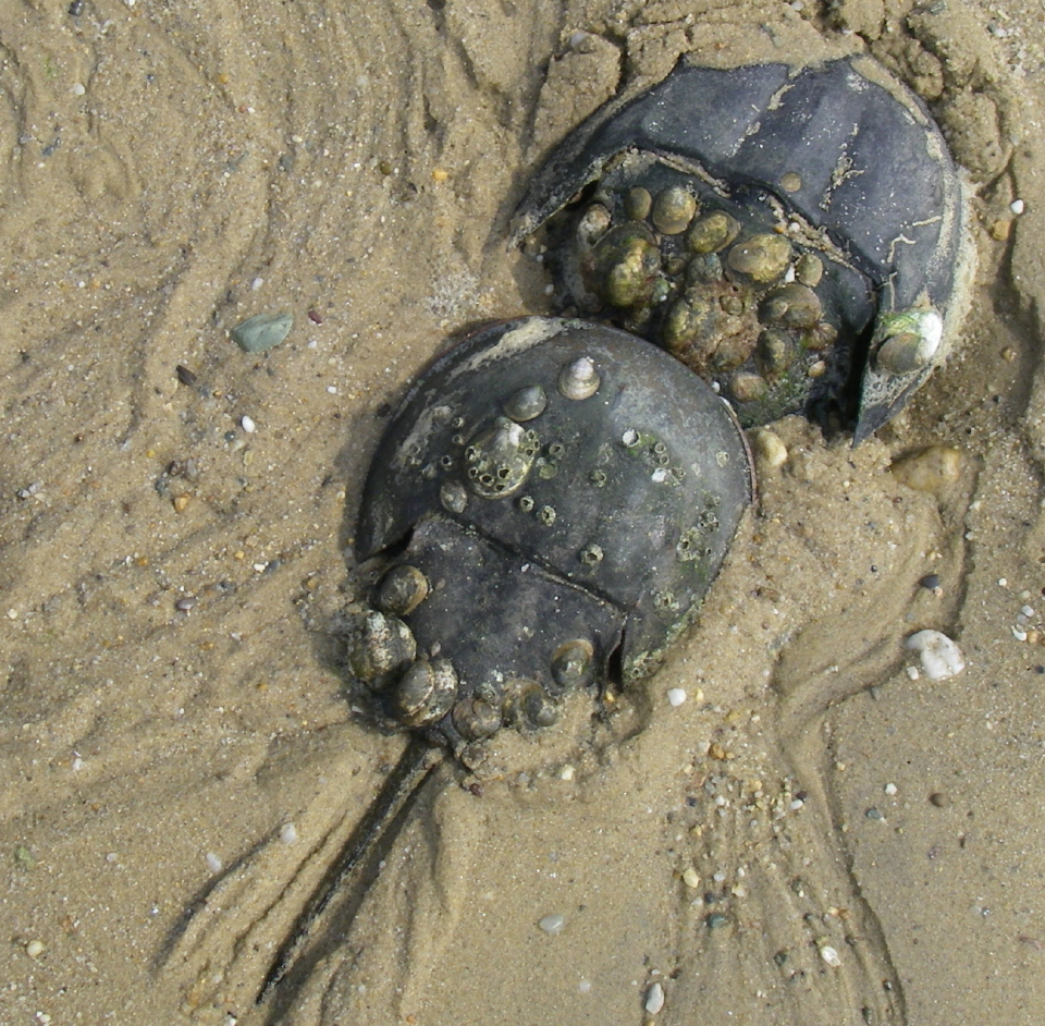 Horseshoe crabs. Courtesy of Richard Elson