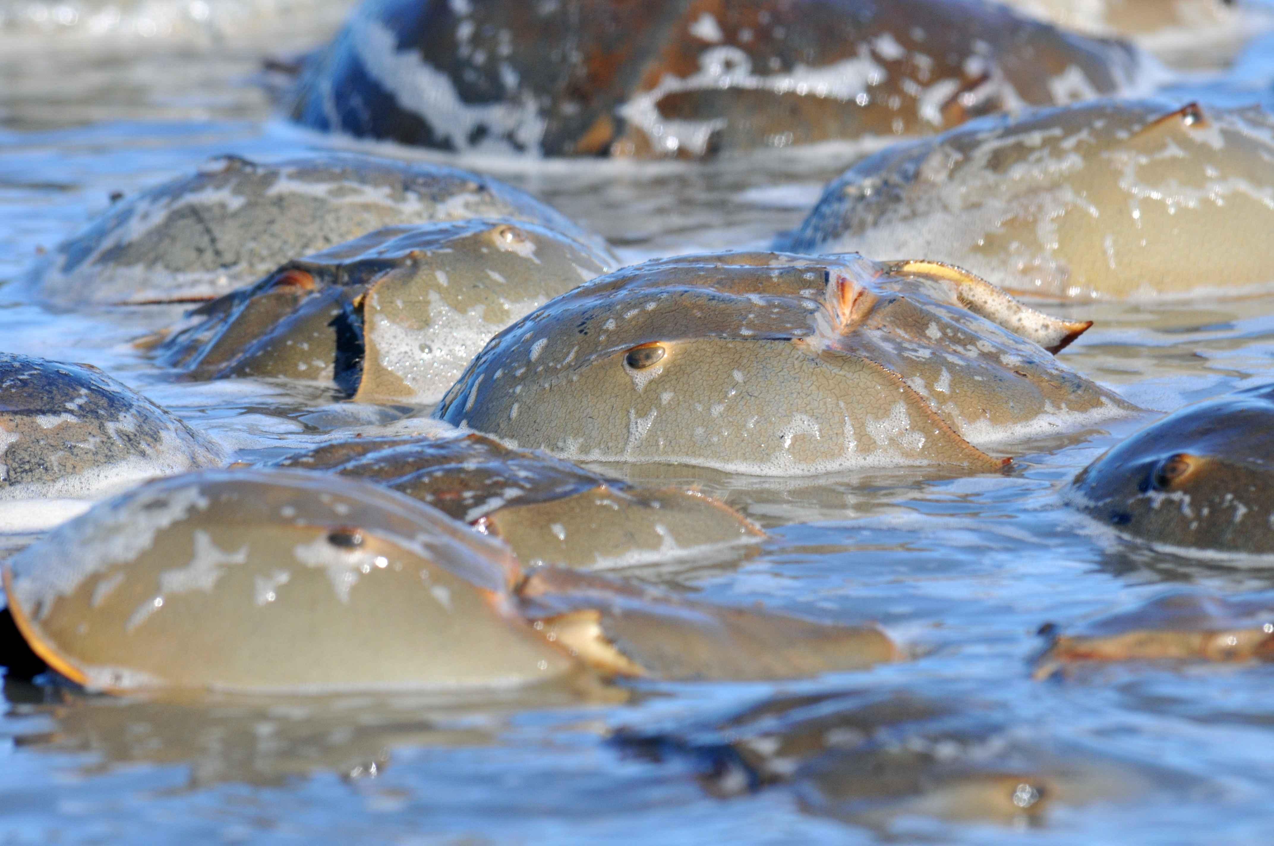 Horseshoe crabs. Courtesy of Richard Elson