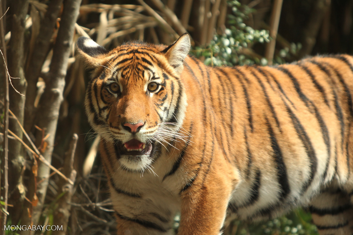 Lao PDR, with its weak laws and law enforcement and its strategic location close to China, Myanmar, Thailand and Vietnam, has emerged as a key transit hub for the trade of many threatened species including the tiger. Photo by Rhett Butler.