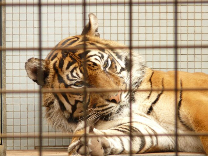 Lao PDR hopes to phase out its tiger farms. Photo by Hans, from Pixabay. Public Domain.