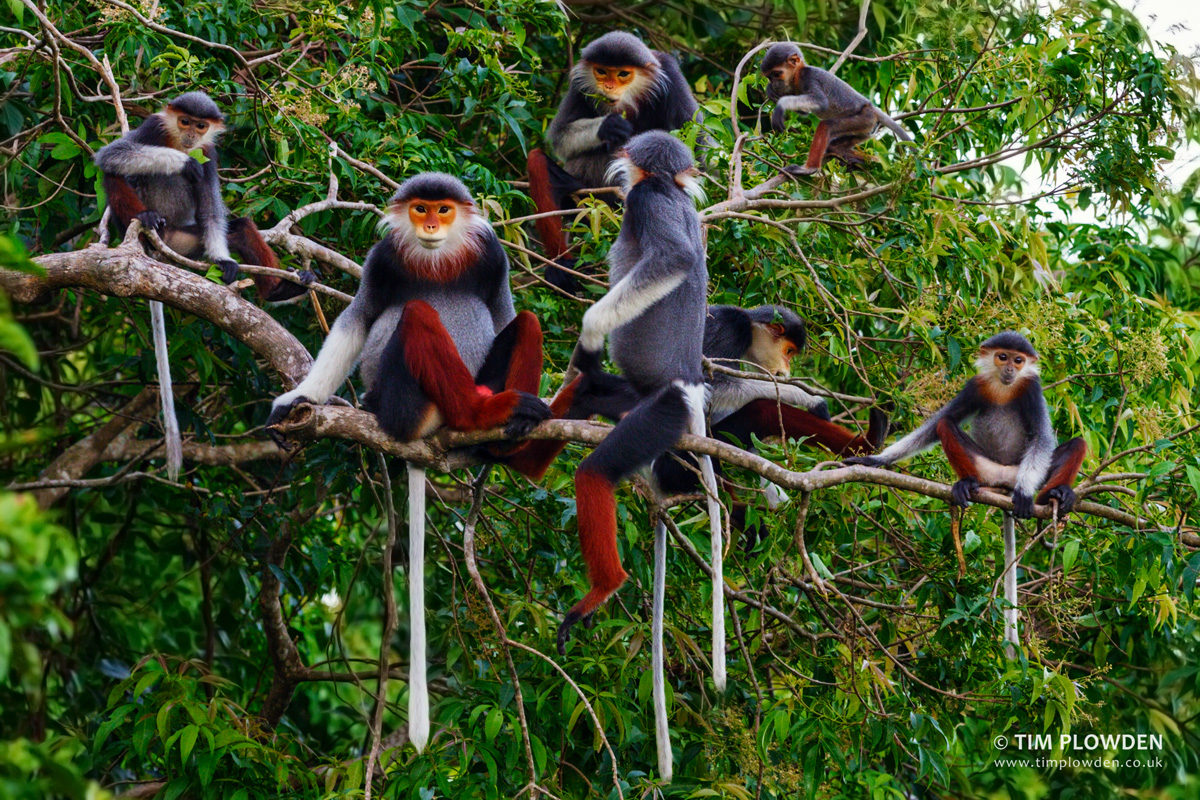 Red-shanked-doucs in Vietnam. Photo by Tim Plowden