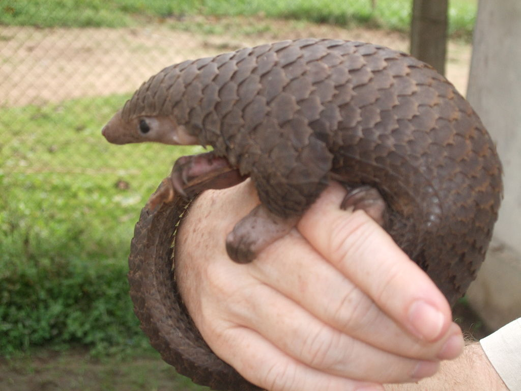 Tree pangolin (Manis tricuspis) in central Democratic Republic of the Congo. Photo by Valerius Tygart, Wikimedia Commons, licensed under CC BY-SA 3.0.