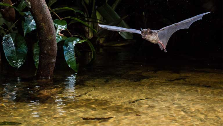 A Pale Spear-nosed bat (Phyllostomus discolor) flying low over the water. Although insects are their most common food, bat species also eat fruit, nectar, birds, reptiles, amphibians, fish, and mammals — including other bats. Photo © Oriol Massana & Adrià López-Baucells
