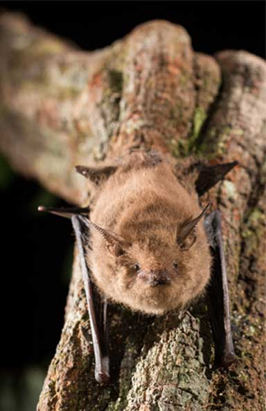 A Shaggy bat (Centronycteris maximiliani). The free guide is available in an interactive, digital format that connects to IUCN Red List online resources for each species. Photo © Oriol Massana & Adrià López-Baucells
