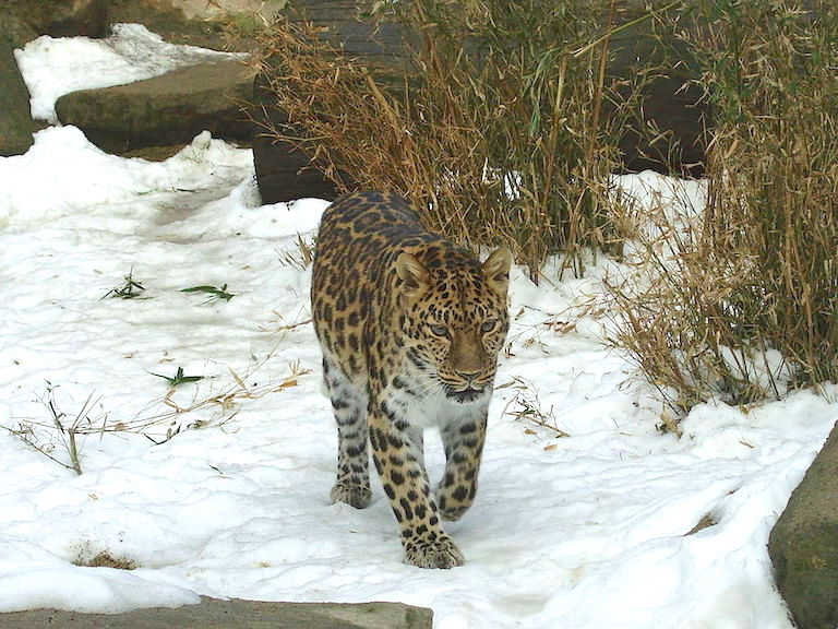 A captive Amur leopard. Photo by Tedmek via Wikimedia Commons