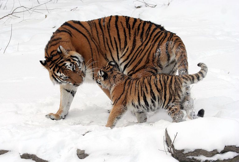 Captive Amur tigers, a mother and a cub. Photo by Dave Pape via Wikimedia Commons