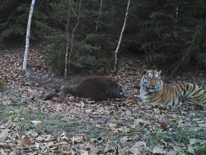 An Amur tiger and its prey, a local farmer's cow, photographed by a camera trap near Hunchun National Nature Reserve in China's northeastern province of Jilin. Photo courtesy of Hunchun Forestry Bureau