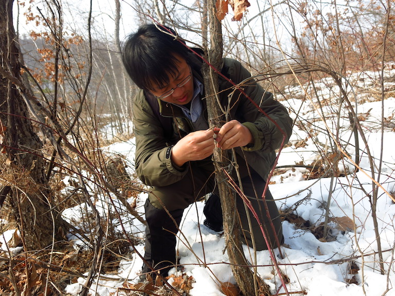 Yang Weihe of the NGO Global Protected Area Friendly System clears a poacher's snare in Hunchun in January 2015. Photo courtesy of Global Protected Area Friendly System