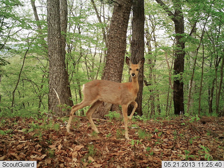 A Siberian roe deer, which Amur tigers and Amur leopards target as prey, photographed by a camera trap in near Hunchun National Nature Reserve. Photo courtesy of Hunchun Forestry Bureau